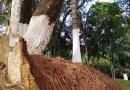 Leitora reclama de árvore prestes a cair