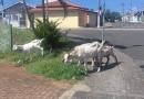 Cabras fazem passeio pelo Jundiaí Mirim